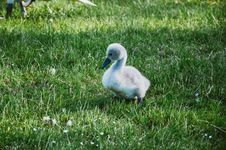 Free Young Cygnet Royalty Free Stock Photos - 83038438