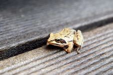 Free Frog On Wooden Planks Stock Photography - 83038452