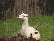 Free White Llama Lying On Green Grass Under Sunny Sky During Daytime Royalty Free Stock Photos - 83038548