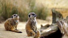 Free Meerkats In Grasses Stock Photo - 83038560
