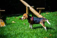 Free Beagle Puppy In Yard Stock Image - 83038561