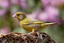 Free Greenfinch Portrait Royalty Free Stock Image - 83038666