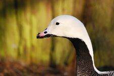 Free Black And White Duck Close Up Photo Royalty Free Stock Image - 83038756