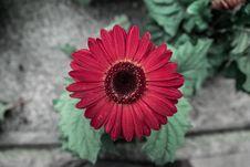 Free Red Daisy Stock Image - 83038921