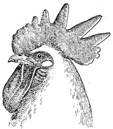 Free Coq-tête Stock Images - 83055084