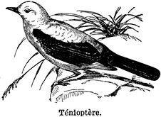 Free Ténioptère Stock Photo - 83057680