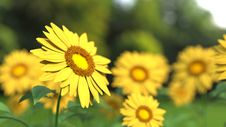 Free Sunflower Field Royalty Free Stock Photo - 83057785