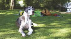Free Blue Merle Great Dane Royalty Free Stock Photos - 83058158