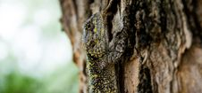 Free Brown Black Yellow Beige Lizard Climbing On Brown Tree Royalty Free Stock Images - 83058159