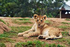 Free Lion Cub Lying On Ground Royalty Free Stock Photos - 83058888