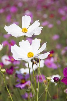Free White Clustered Petal Flower Royalty Free Stock Photo - 83058935