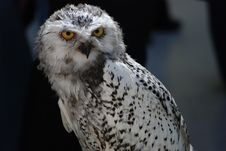 Free White Black Owl In Close Up Photo Stock Photo - 83059200