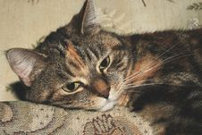 Free Portrait Of Calico Cat Stock Image - 83059201