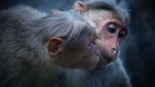 Free Portrait Of Macaque Monkeys Stock Photo - 83059350