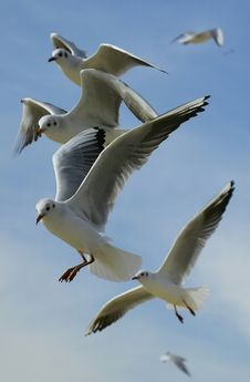 Free Flock Of Seagulls Flying During Daytime Royalty Free Stock Photo - 83059505