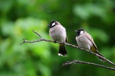 Free White And Black Birds Piercing On Tree Branch Stock Photography - 83059542