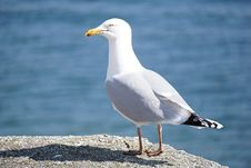 Free Seagull On Rock Royalty Free Stock Images - 83059669