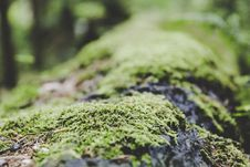 Free Moss Close Up Royalty Free Stock Images - 83059809