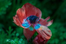 Free Red Petal Black Polen Flower Royalty Free Stock Image - 83059976