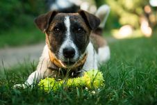 Free Brown And White Short Coated Dog On Green Green Grass Beside Yellow Dog Bone Toy During Daytime Stock Image - 83060141