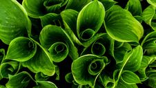 Free Water On Green Leaves Royalty Free Stock Photos - 83060148