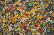 Free Dry Leaves On The Ground Royalty Free Stock Images - 83060369