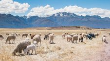Free Sheep Grazing In Mountain Field Stock Images - 83060504
