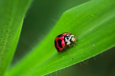 Free Black And Red Ladybug On Green Leaf Royalty Free Stock Image - 83060866