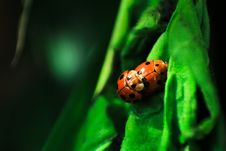 Free Laby Bugs Mating On Green Surface Stock Photos - 83060903