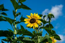 Free Sunflower In Field Stock Images - 83060984