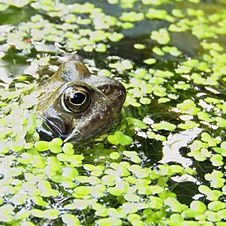 Free Brown Frog Surrounded By Green Floating Pants On Water Stock Photo - 83061110