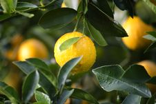 Free Lemon In Tree Stock Photography - 83061122