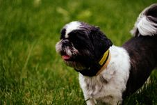 Free Black And White Short Hair Shih Tzu Dog On Green Grass Royalty Free Stock Images - 83061129