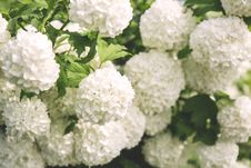 Free White Clustered Flowers With Green Leaves Stock Photos - 83061153