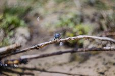 Free Blue Darner Stock Photography - 83061182