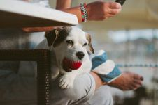 Free White Tank Long Coat Puppy Dog On Person S Lap With Ball In Mout Royalty Free Stock Photos - 83061238