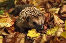 Free Brown And Black Hedgehog Standing On Brown Dry Leaved Stock Photo - 83061570