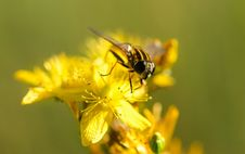 Free Honey Bee On A Yellow Flower Royalty Free Stock Images - 83061699