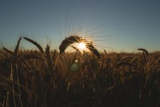 Free Cereal Crop At Dawn Royalty Free Stock Photo - 83061715