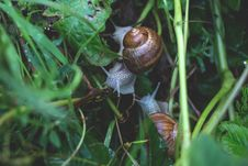 Free Snails On Grass Royalty Free Stock Image - 83061796