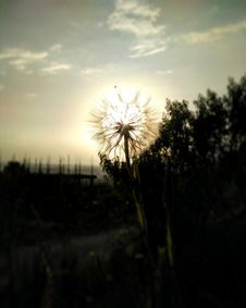 Free Dandelion At Sunset Royalty Free Stock Images - 83061829