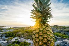 Free Fresh Pineapple On Rocky Shores Royalty Free Stock Photos - 83061858