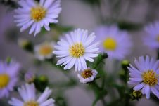 Free Purple Chamomile Flowers Stock Image - 83061921