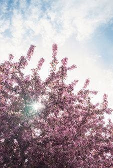 Free Red Blooming Tree Stock Photos - 83061973