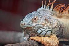 Free Iguana Portrait Stock Photography - 83062012