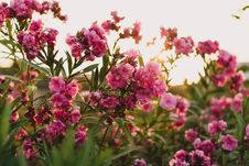 Free Nerium Oleander Flowers Stock Photography - 83062092