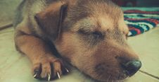 Free Tan And Black Short Coat Puppy Sleeping On The White Tiles Stock Images - 83062134