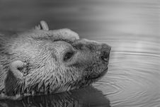 Free Bear On Water Stock Images - 83062144