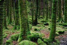 Free Photo Of Trees Covered In Moss Stock Photos - 83062253