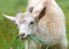 Free White Goat Eating Grass During Daytime Royalty Free Stock Image - 83062286